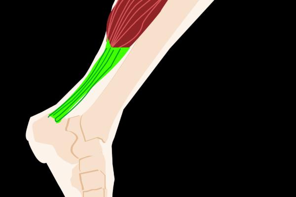 Achilles & Calf Muscles—BFFs